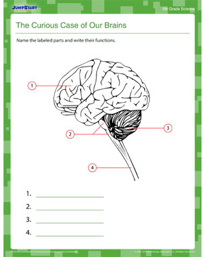the human brain worksheets for kids | Science - human systems 5 ...